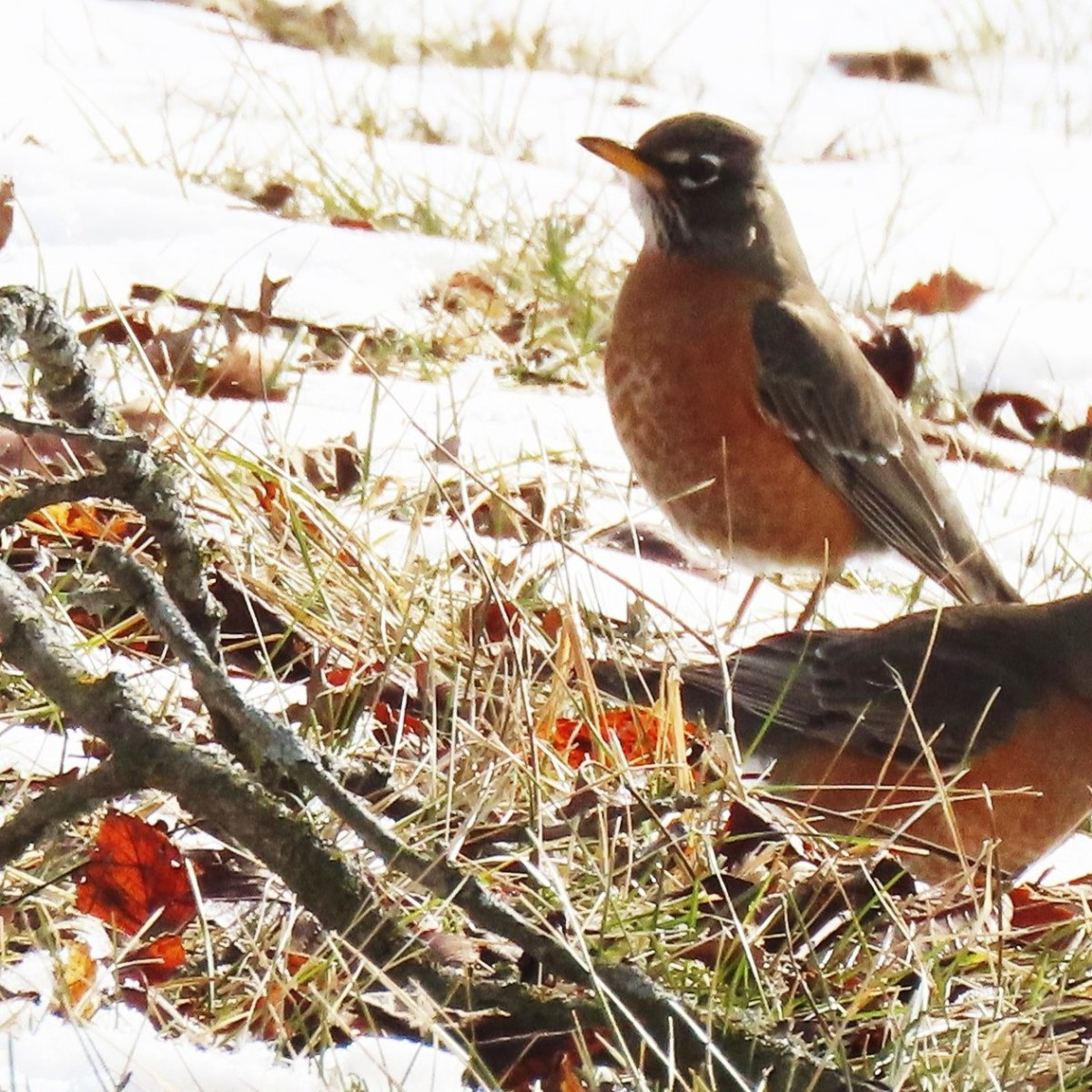 Two Robins hunt and peck for worms