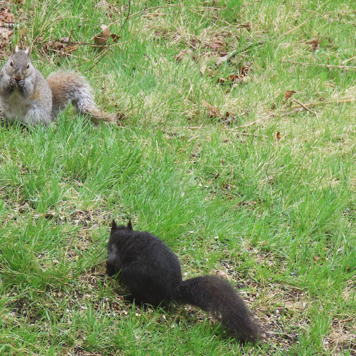 Two gray squirrels, one gray and one black, search for food in the grass
