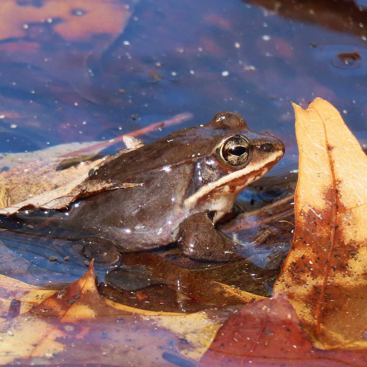 A wood frog emerges from leaves in a pond