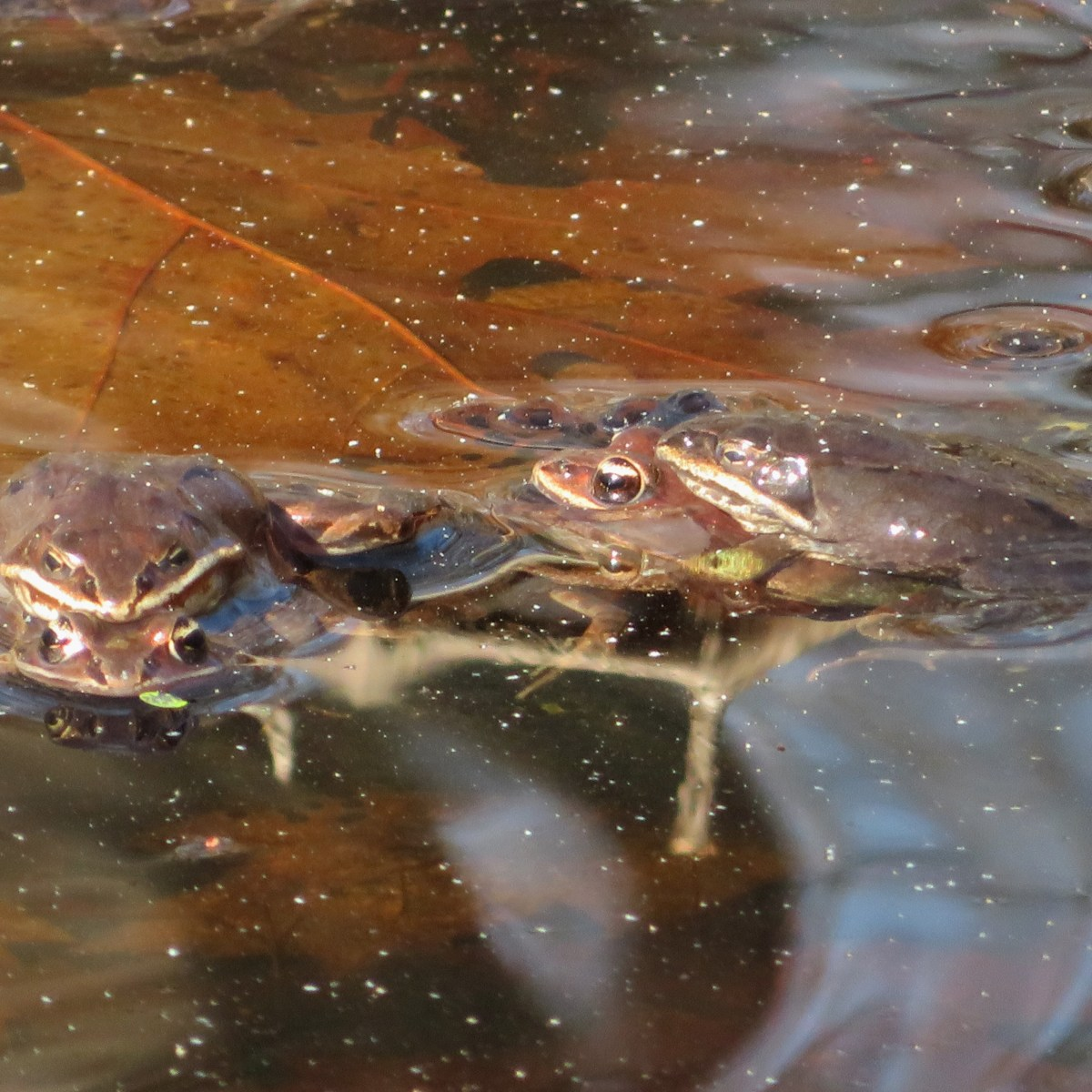 Wood frogs mating