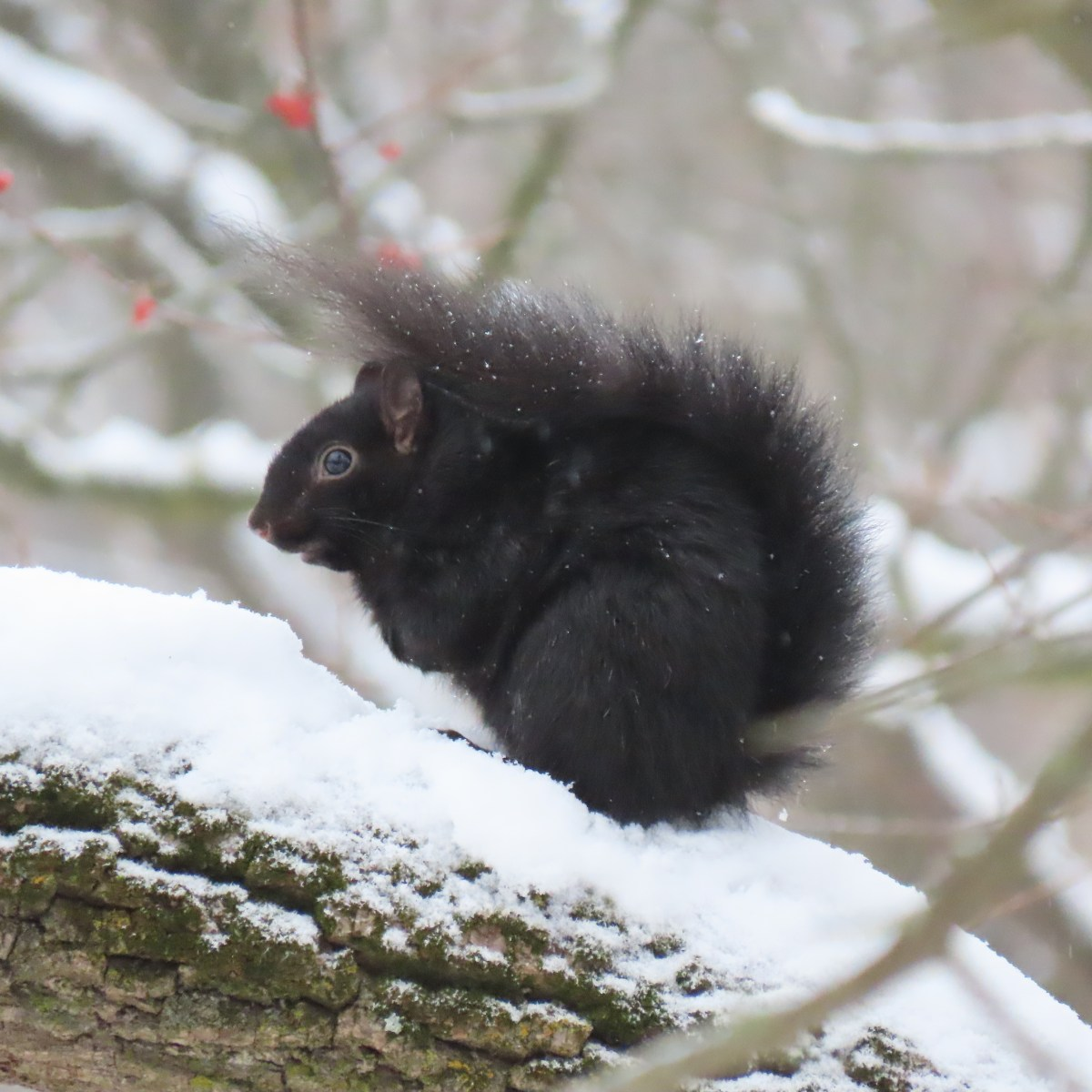 A black-colored gray squirrel sits on a snow-covered branch