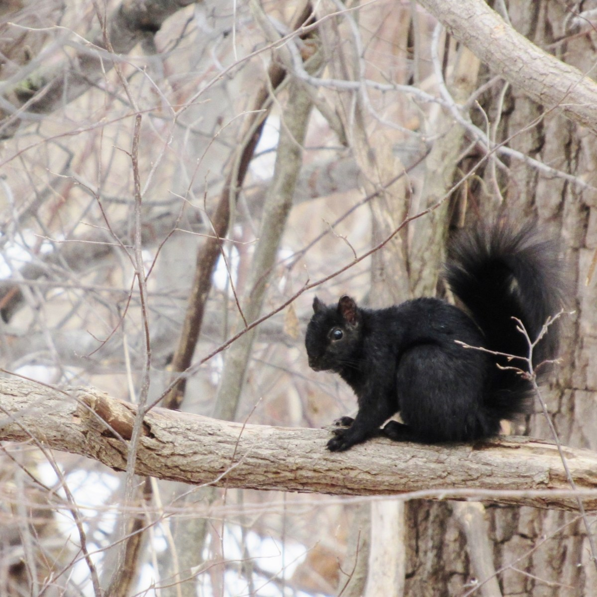 A black-colored gray squirrel sits on a branch in the winter