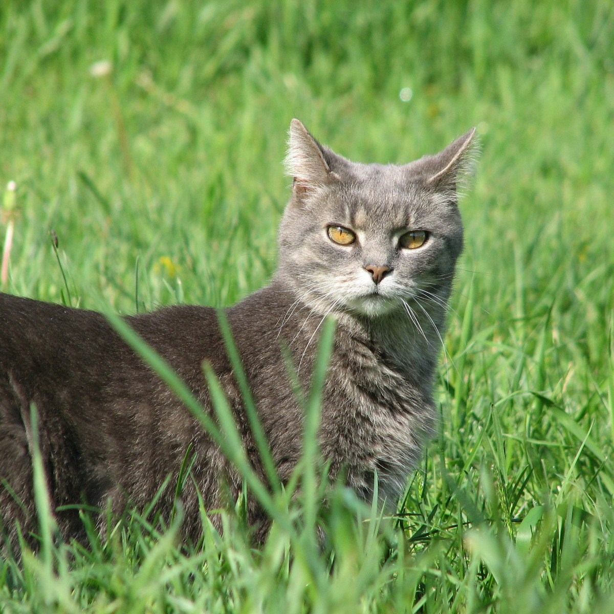 A gray cat with yellow eyes stands in a meadow with ears pointed