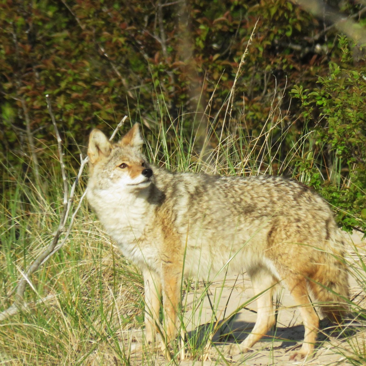 A coyote looking up