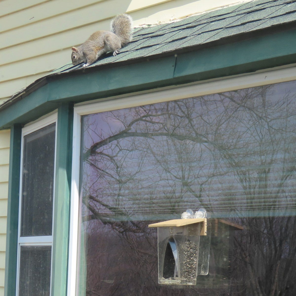 A gray squirrel on roof looks down onto a window bird feeder