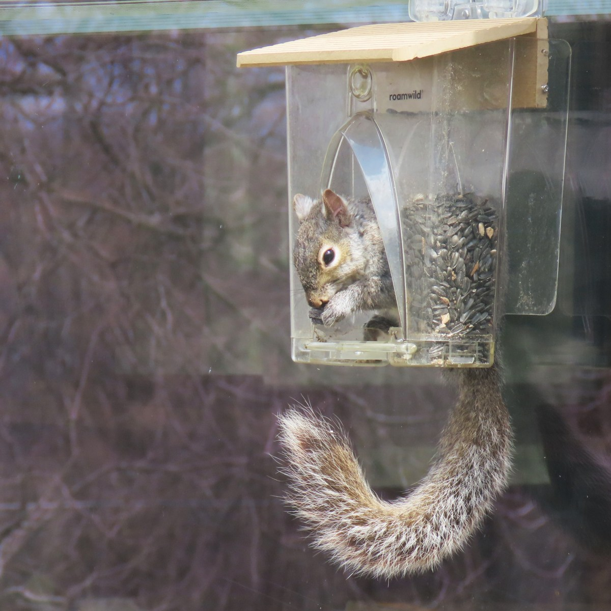 A gray squirrel eats from a window bird feeder that it climbed inside
