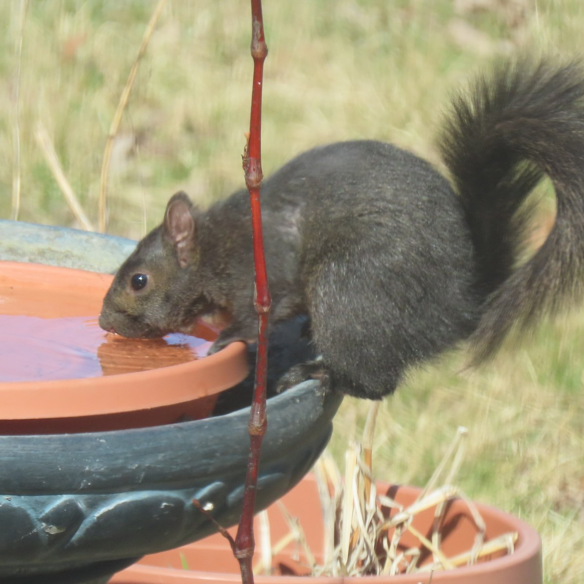 A gray squirrel at stands on the edge of a birdbath and sips from it