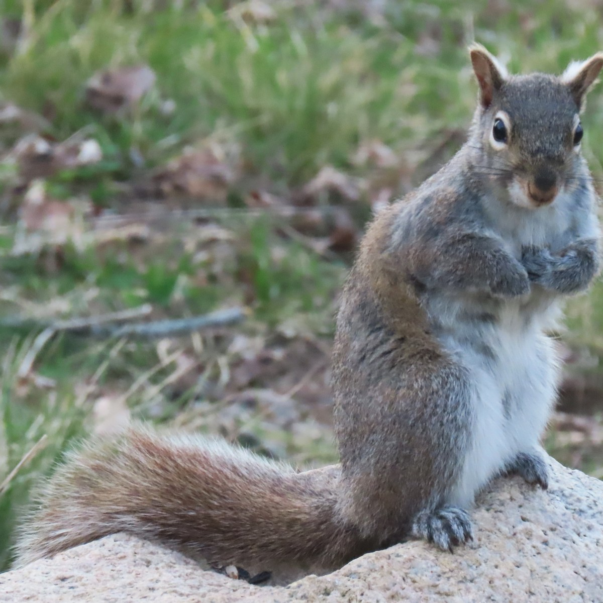 A gray squirrel stands on its hind legs on a rock