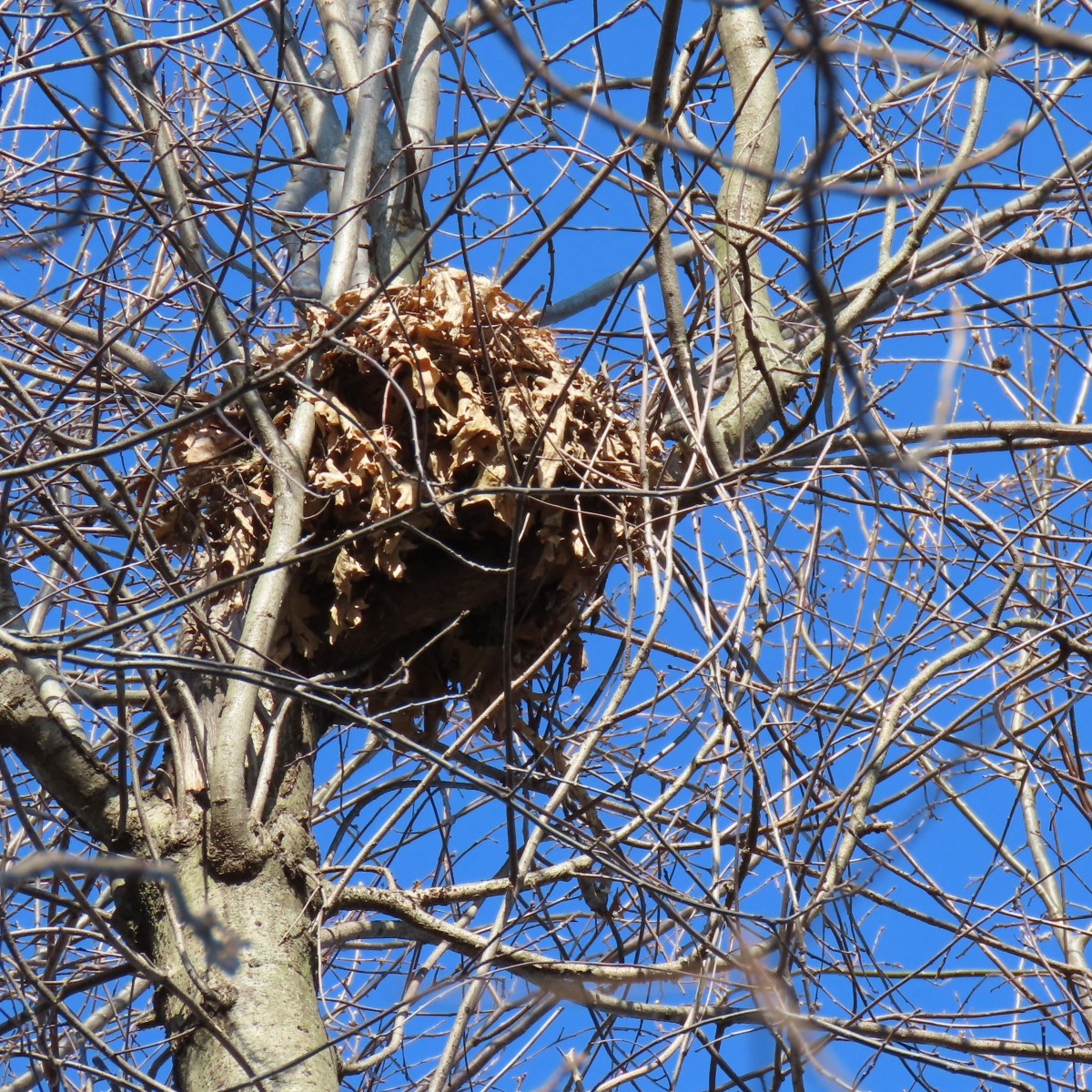 A squirrel nest, or drey, high up in a tree