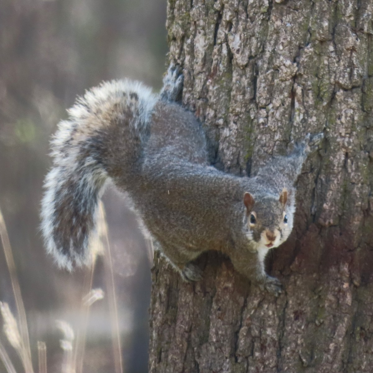 A squirrel climbs sideways around a tree