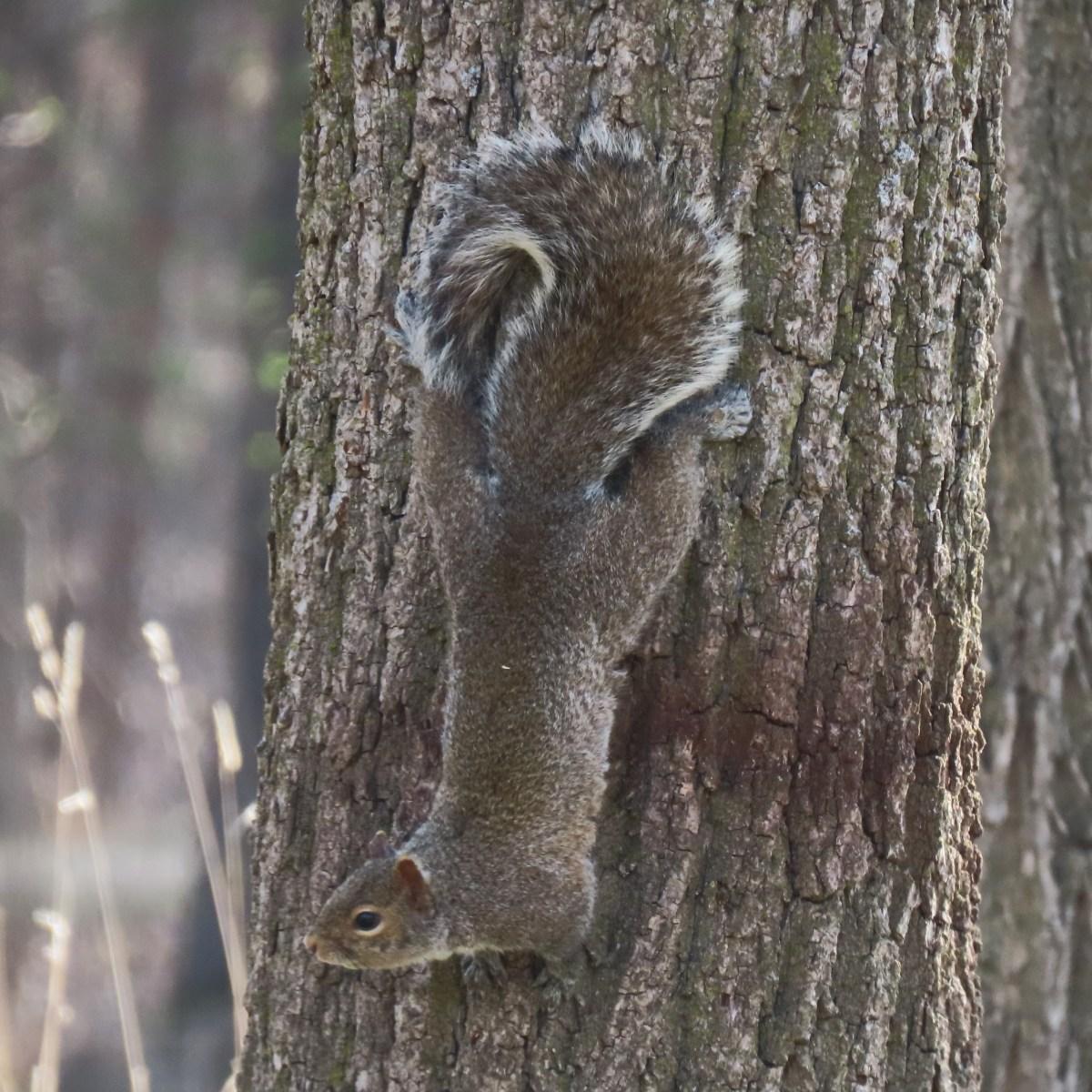 A squirrel climbs, headfirst, down a tree