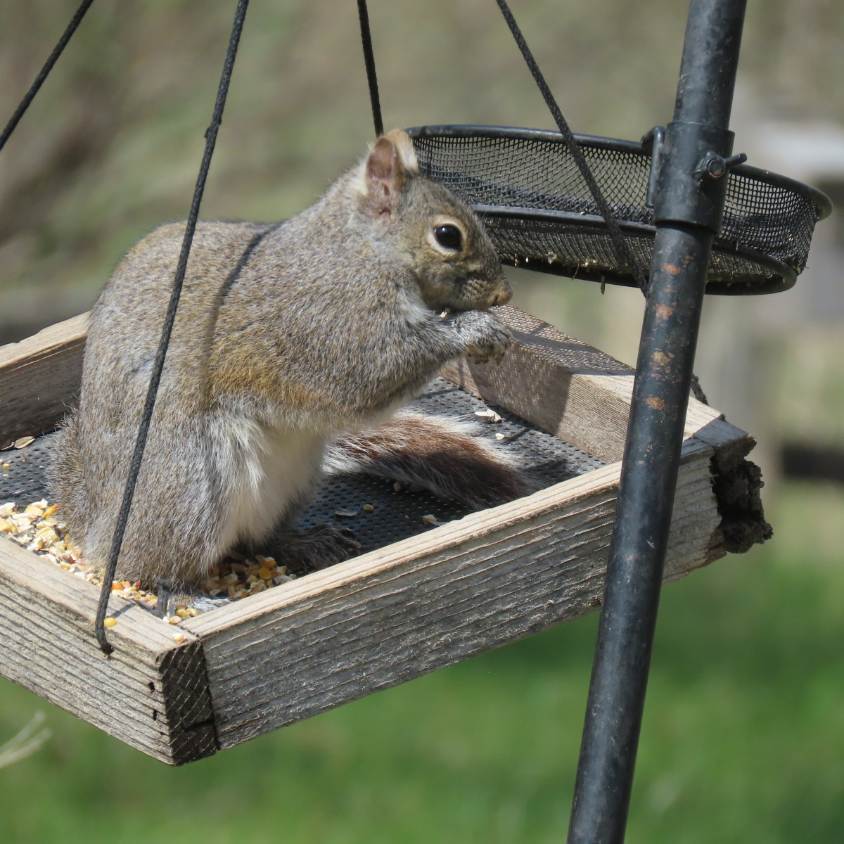 A squirrel sits inside a platform bird feeder and eats from it