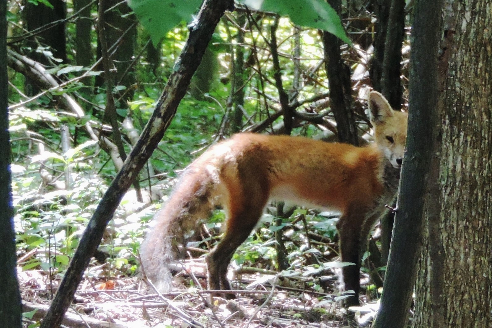 A red fox peers from beyond a tree