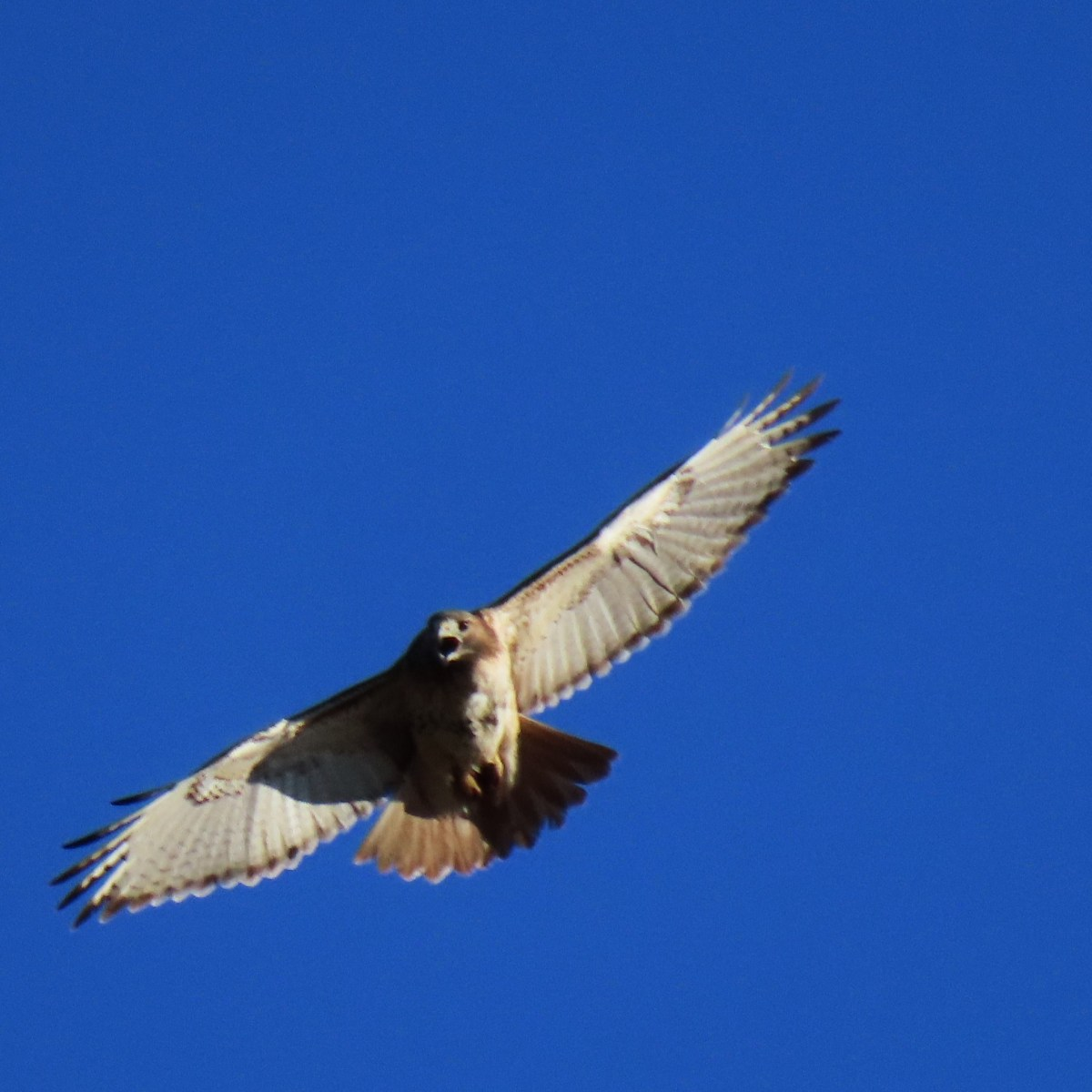 A red-tailed hawk soars in the bright-blue sky