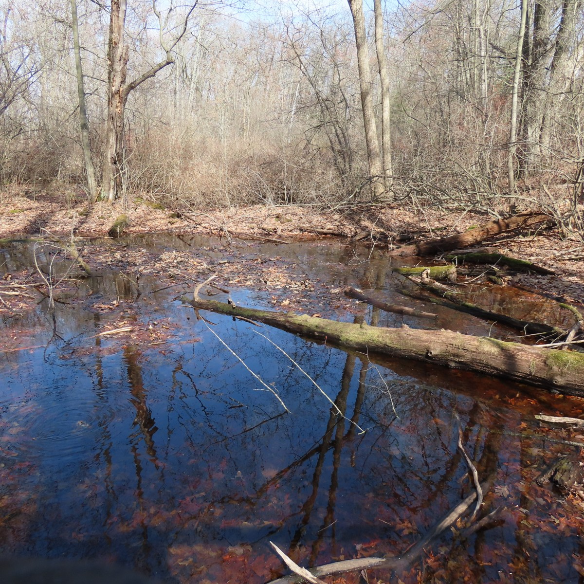 A vernal pond with a large, fallen log partially bisecting it