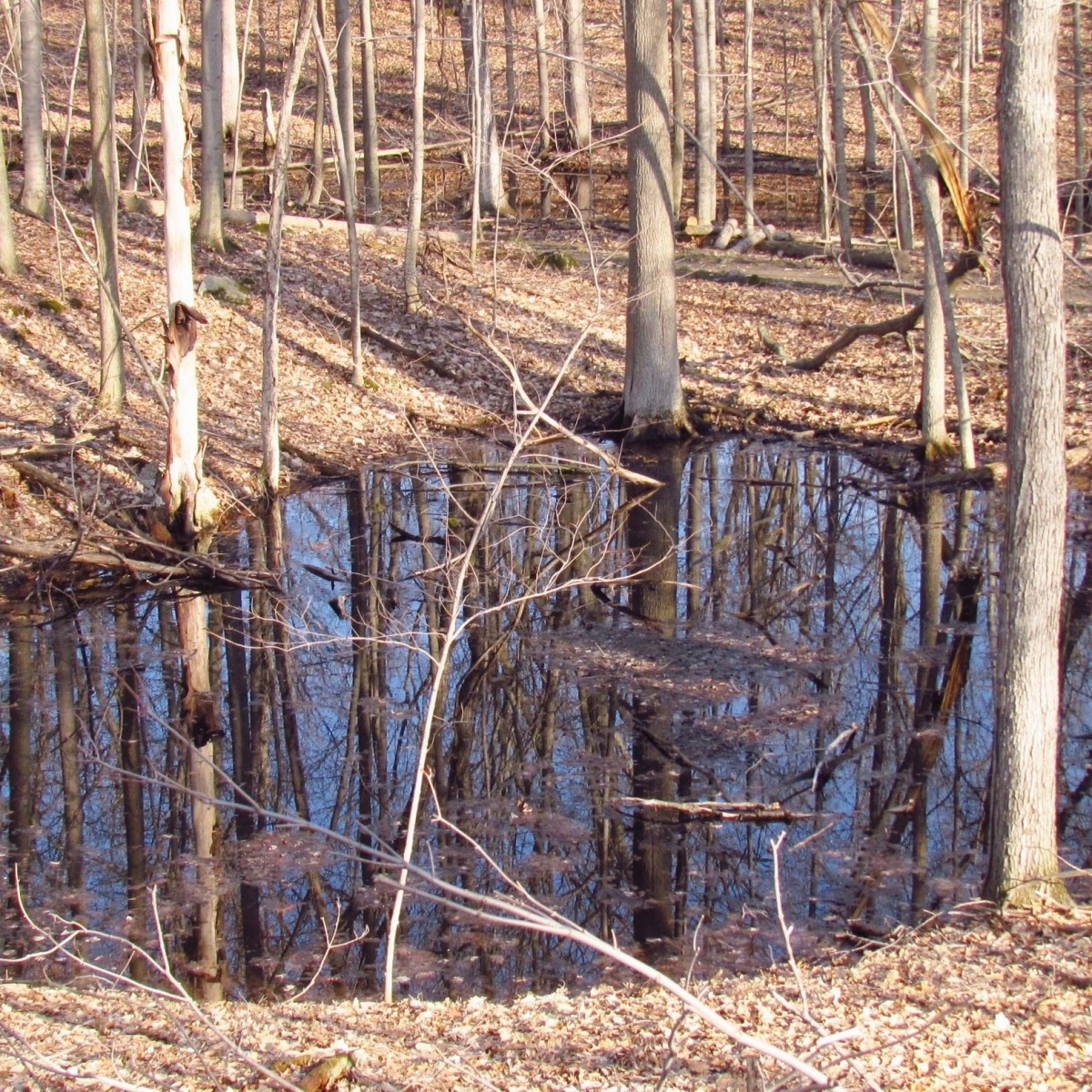 A vernal pond in a wooded area in early spring