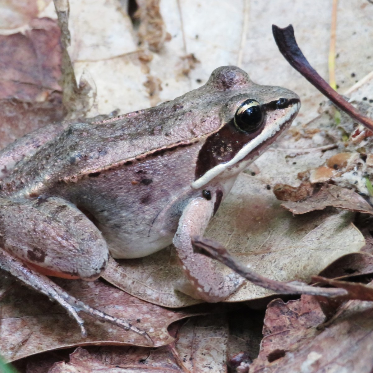 A wood frog with robber's mask
