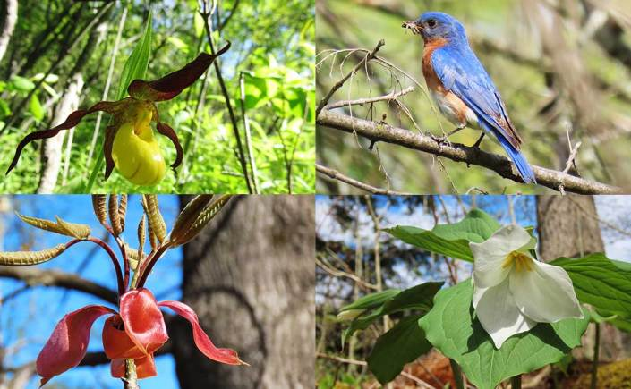 A 2x2 collage of photos that includes a yellow lady slipper orchid, an Eastern Bluebird, a shagbark hickory terminal bud, and a white trillium