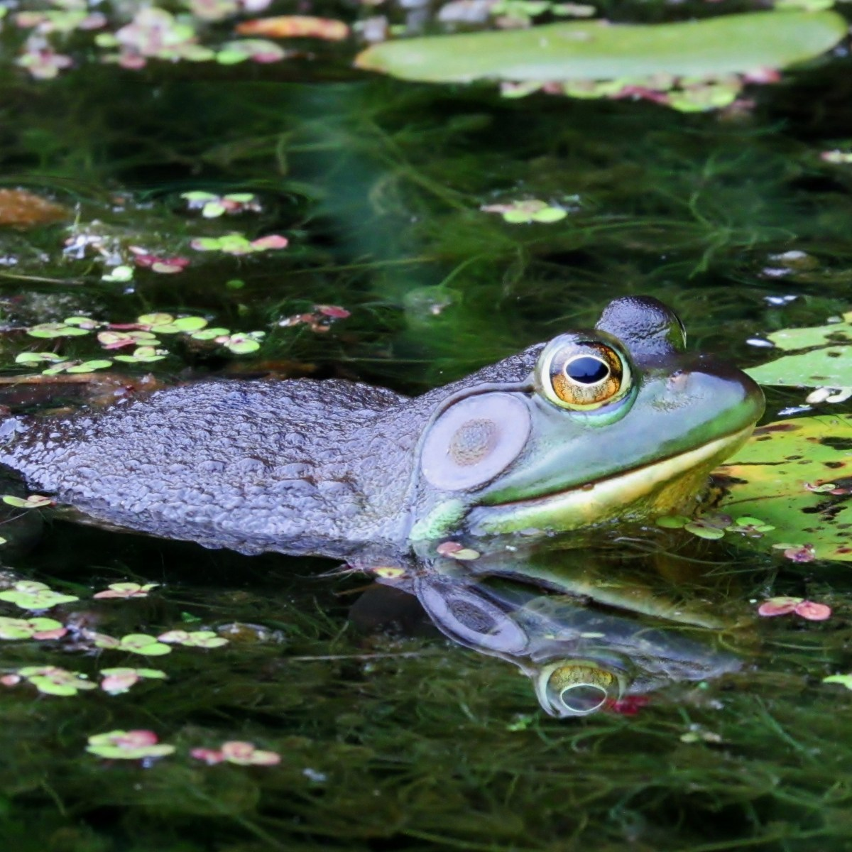 A male bullfrog swims among duckweed and lily pads