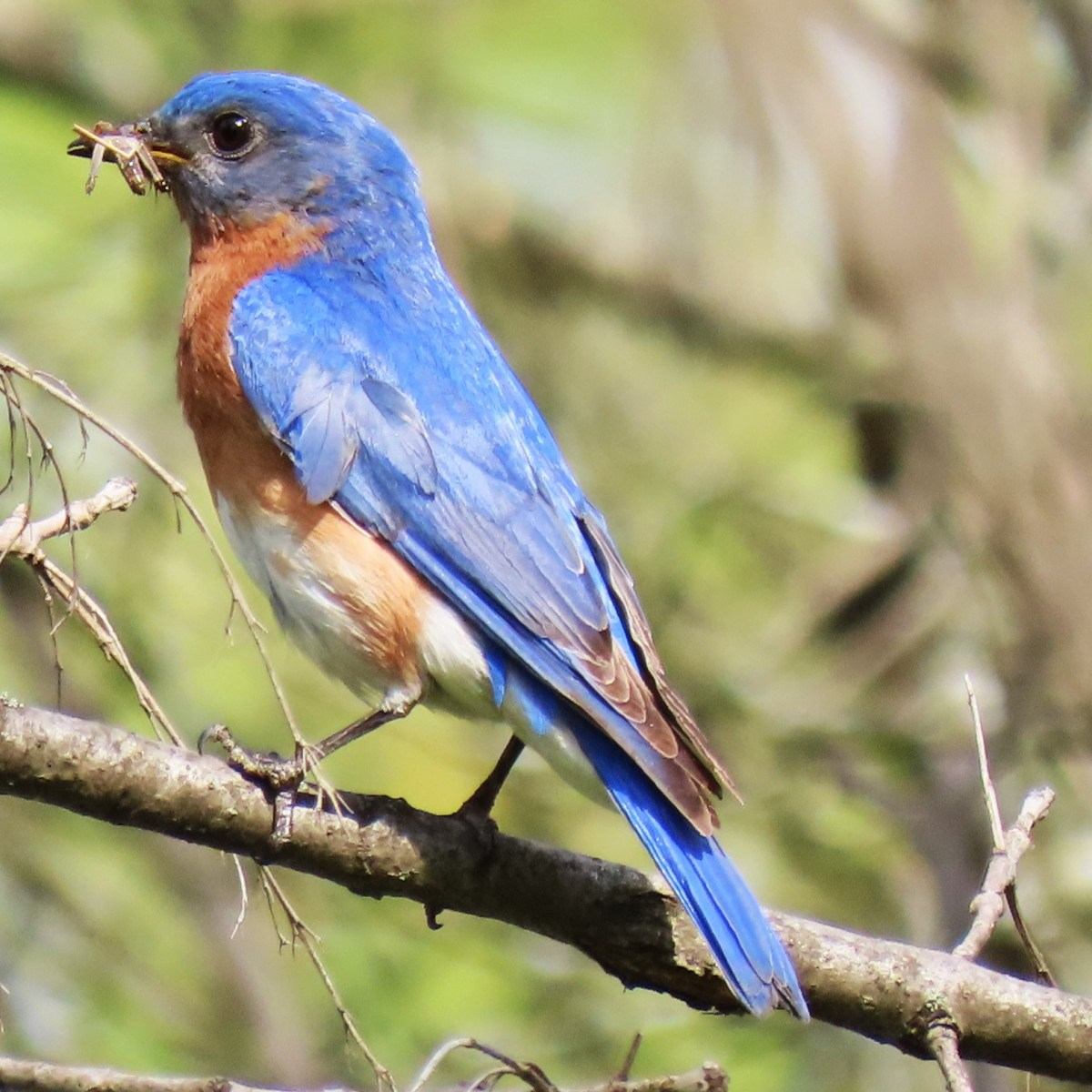 An Eastern Bluebird perched on a twig with food in its mouth for hatchlings