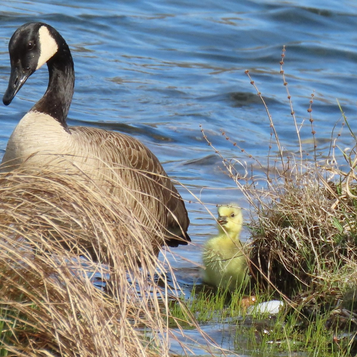 A goose and its gosling stand in the water near tall grasses