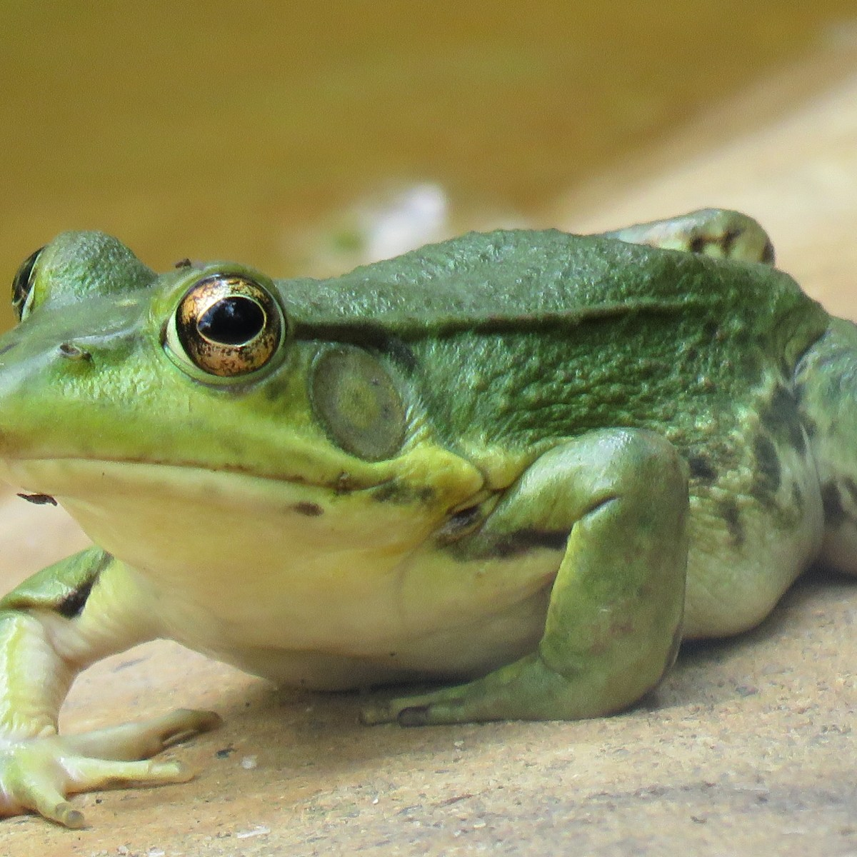 A close-up photo of a large green frog