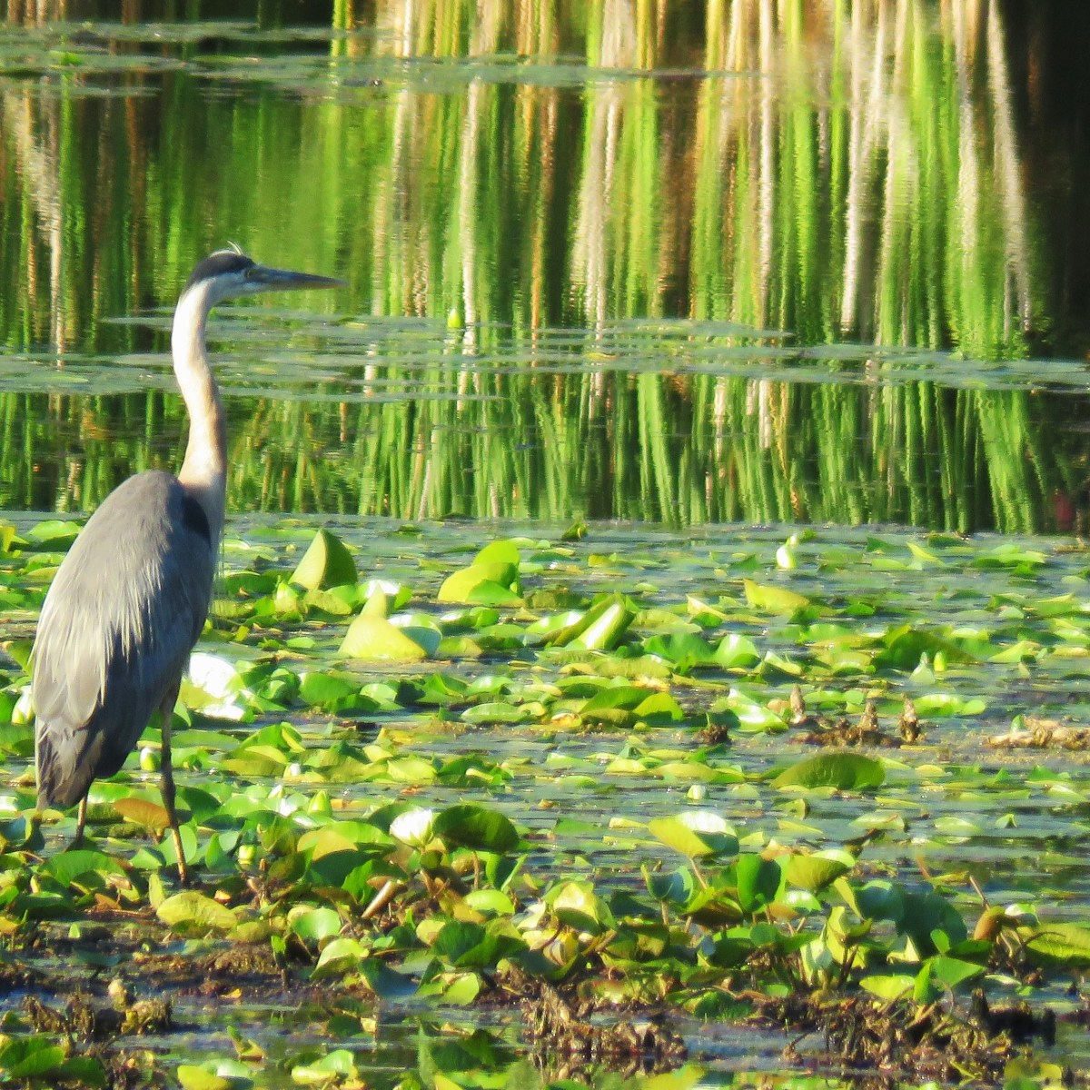 A Great Blue Heron stands among lily pads in the water