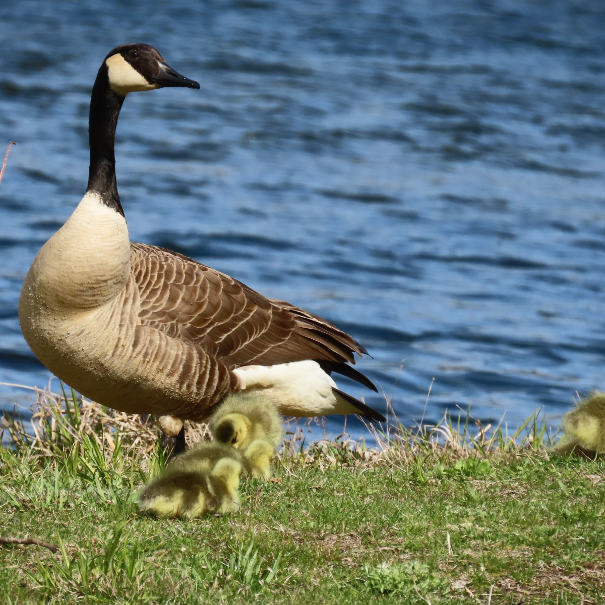 A goose with its goslings near the water surveys their surroundings