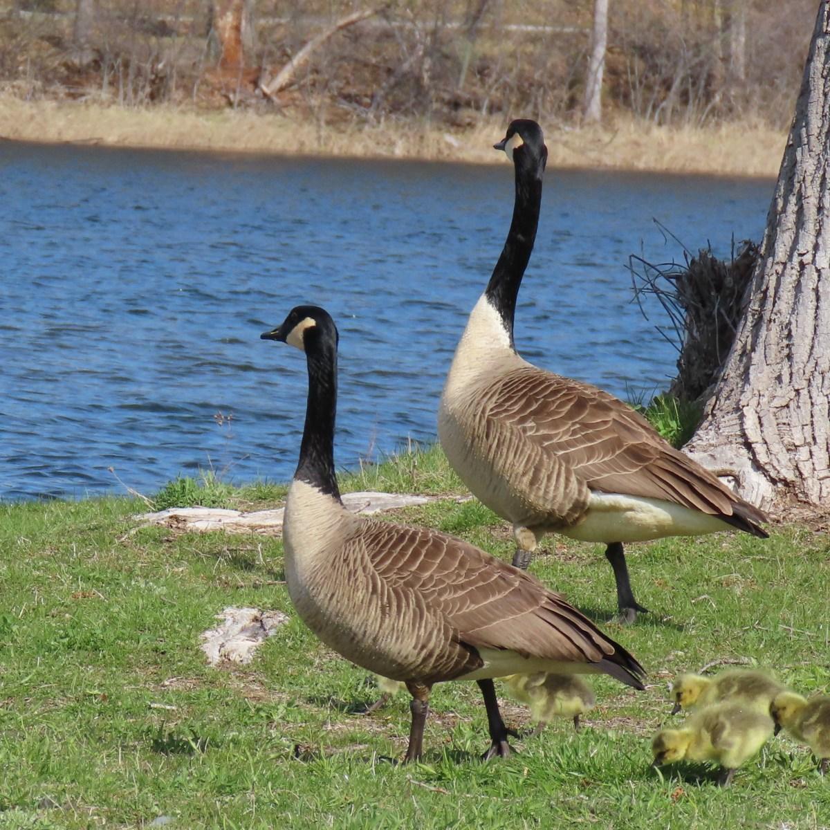 Geese and their goslings walking toward water