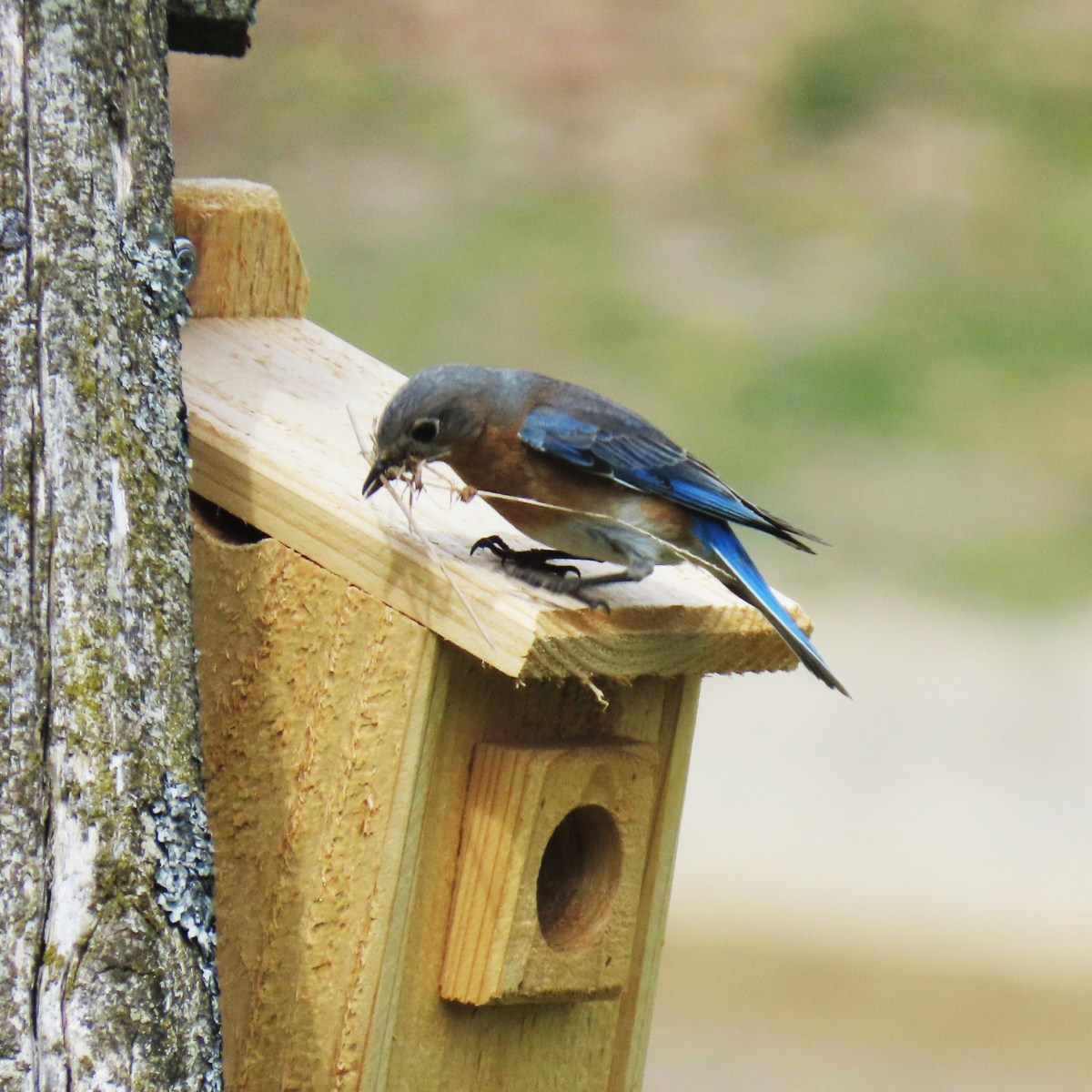 A female Eastern Bluebird stands on a bluebird box with a mouth full of small twigs