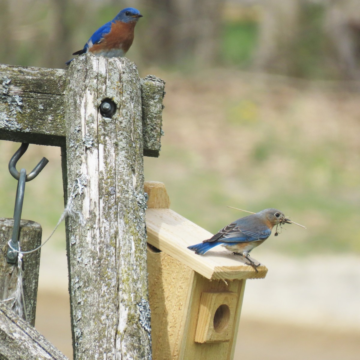 Two Eastern Bluebirds, a male is perched on a fence post and the female is perched on a bluebird box just below