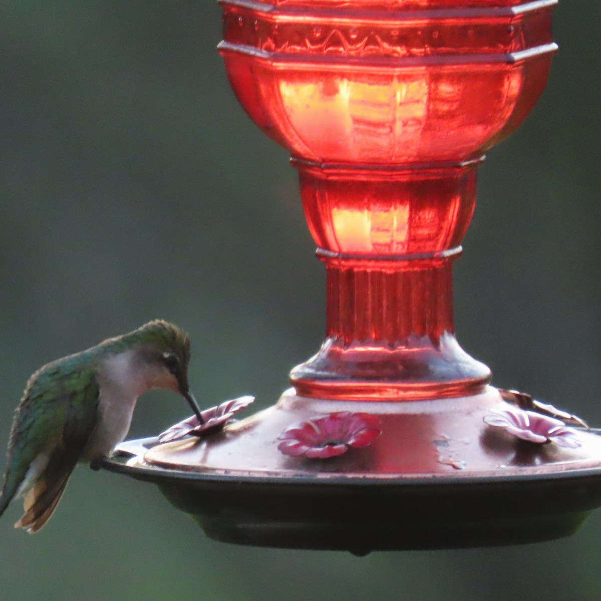 A Ruby-throated Hummingbird drinks from a red glass nectar feeder