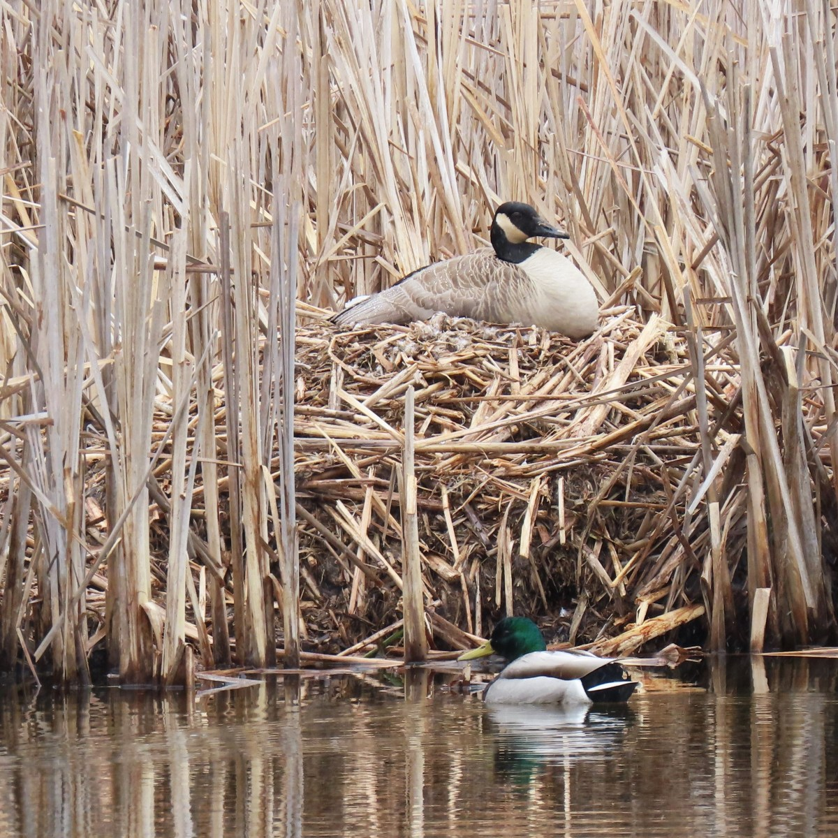 A goose sits on a nest in the reeds while a mallard duck swims in front of it