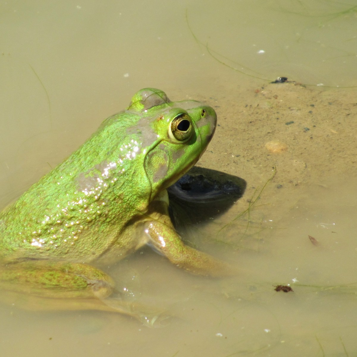 A close-up photo of a bullfrog in the water