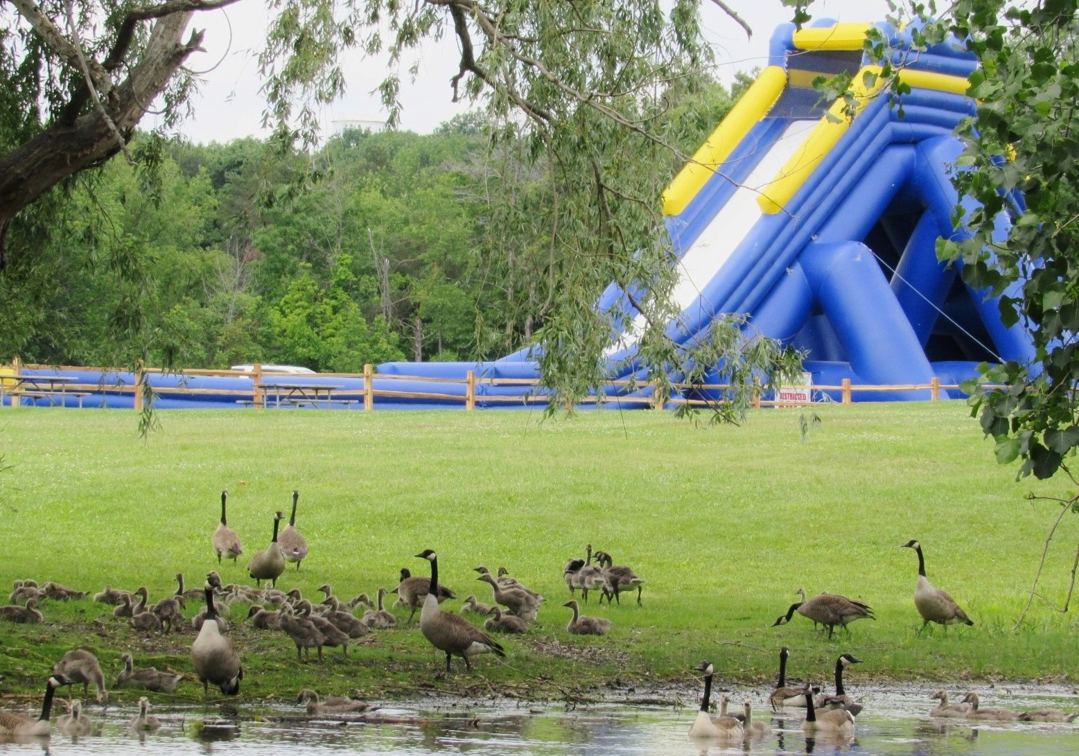 A large number of geese and goslings gathered at the edge of water. A giant inflatable slide is several yards behind them.