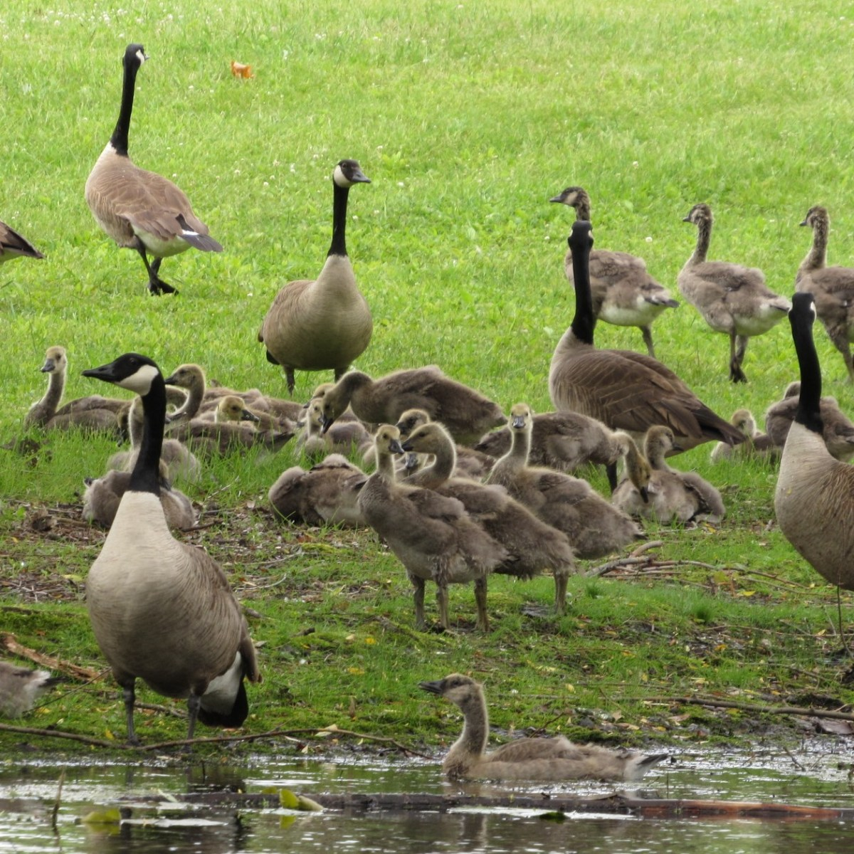 A large number of geese and goslings gathered at the edge of water.