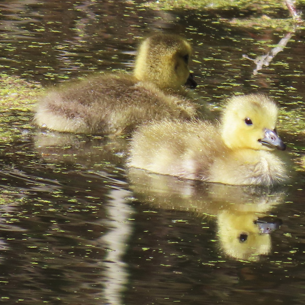 Two fluffy-yellow goslings float in duckweed-covered water