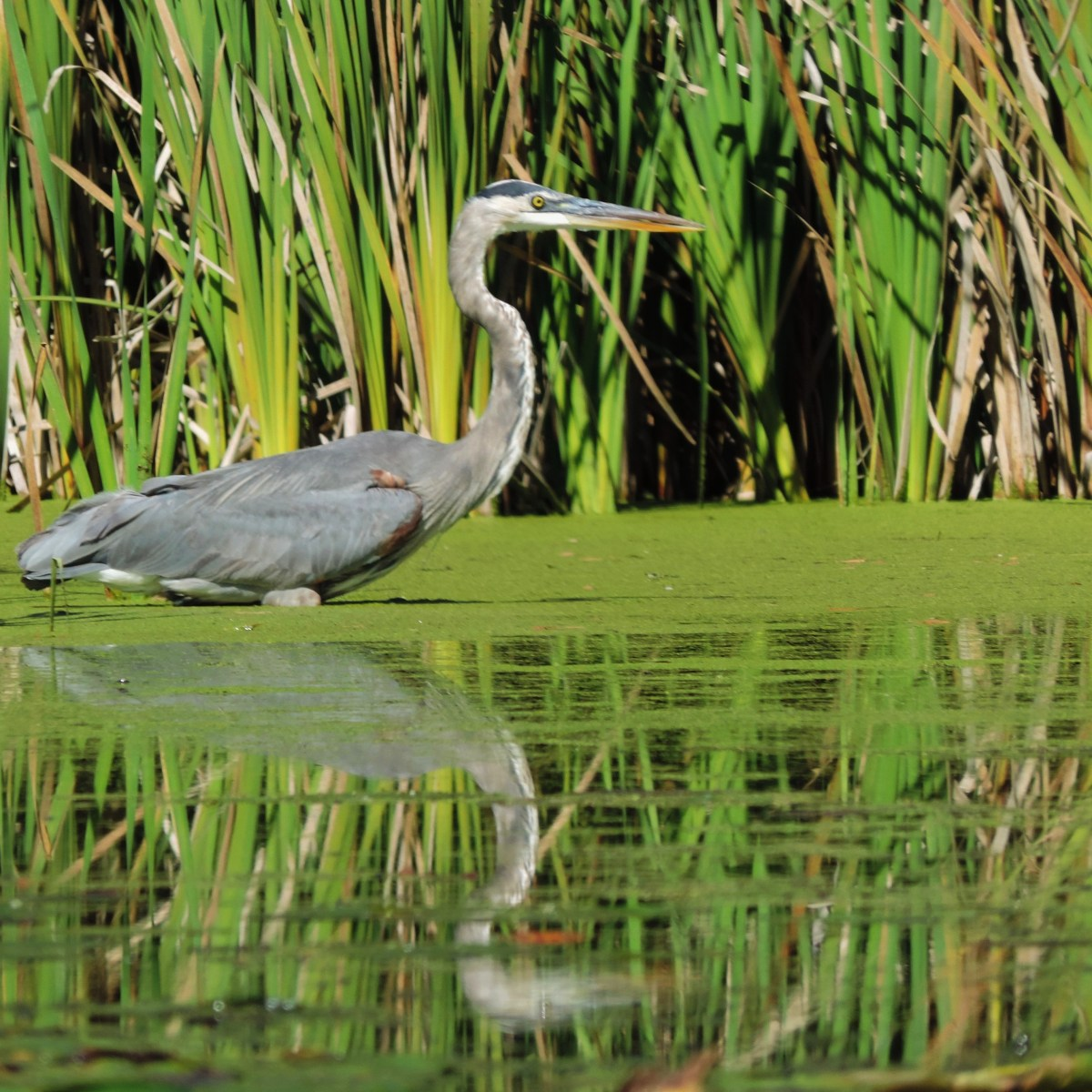 A Great Blue Heron stands still in the water