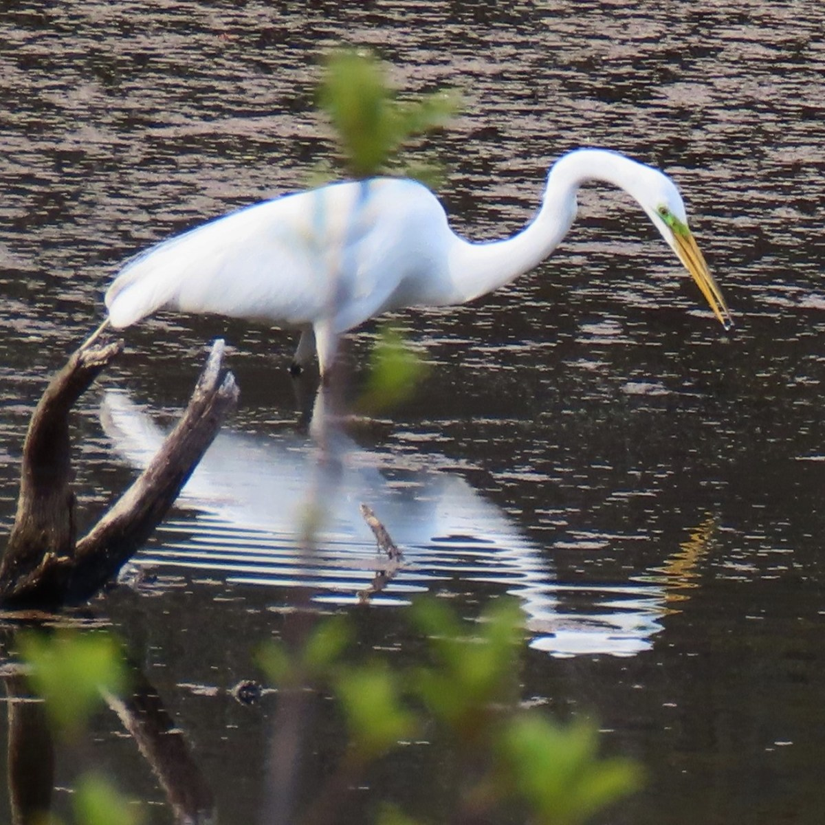 A Great Egret fishes in shallow water