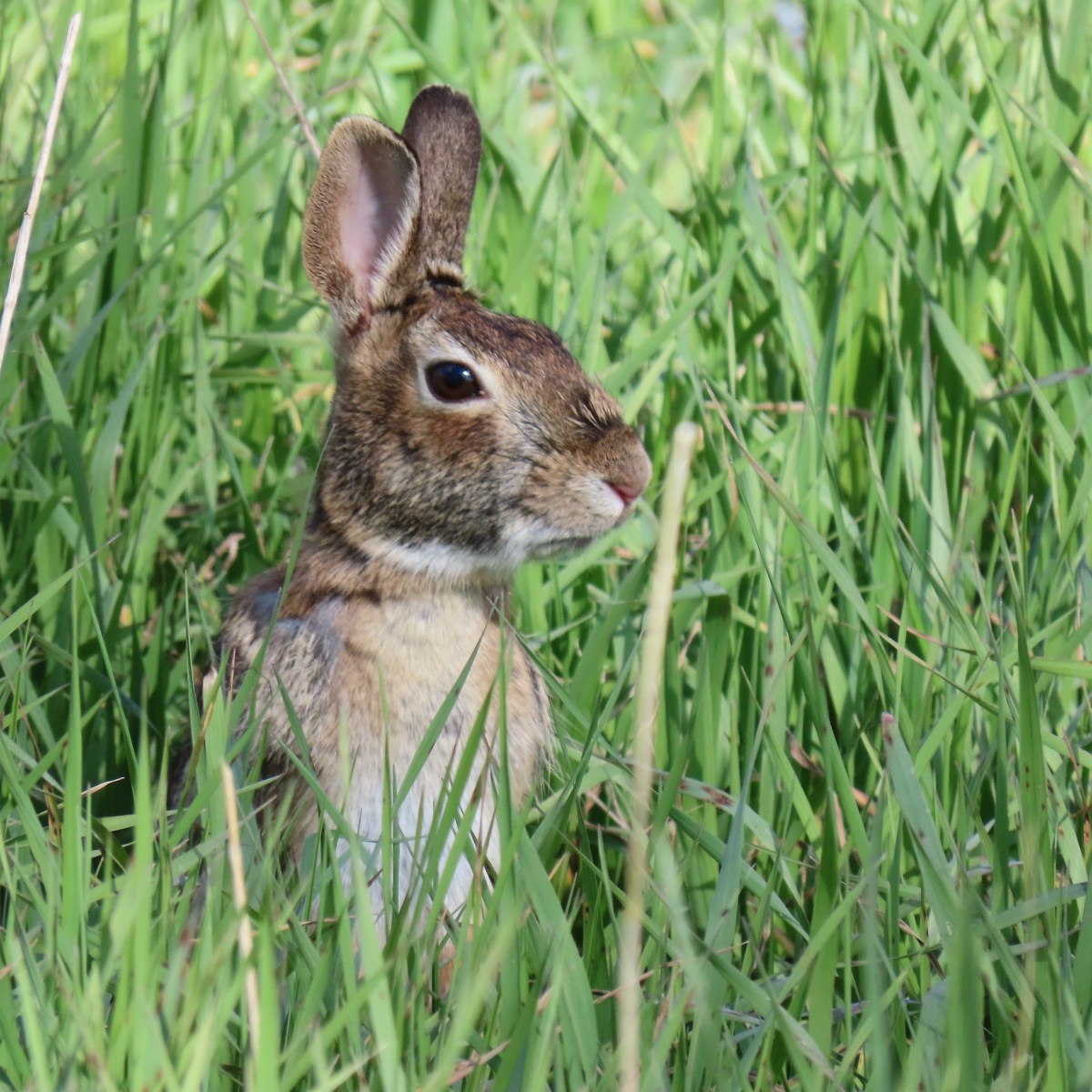 A meadow rabbit stands still with ears pointing up in the grass, looking alert