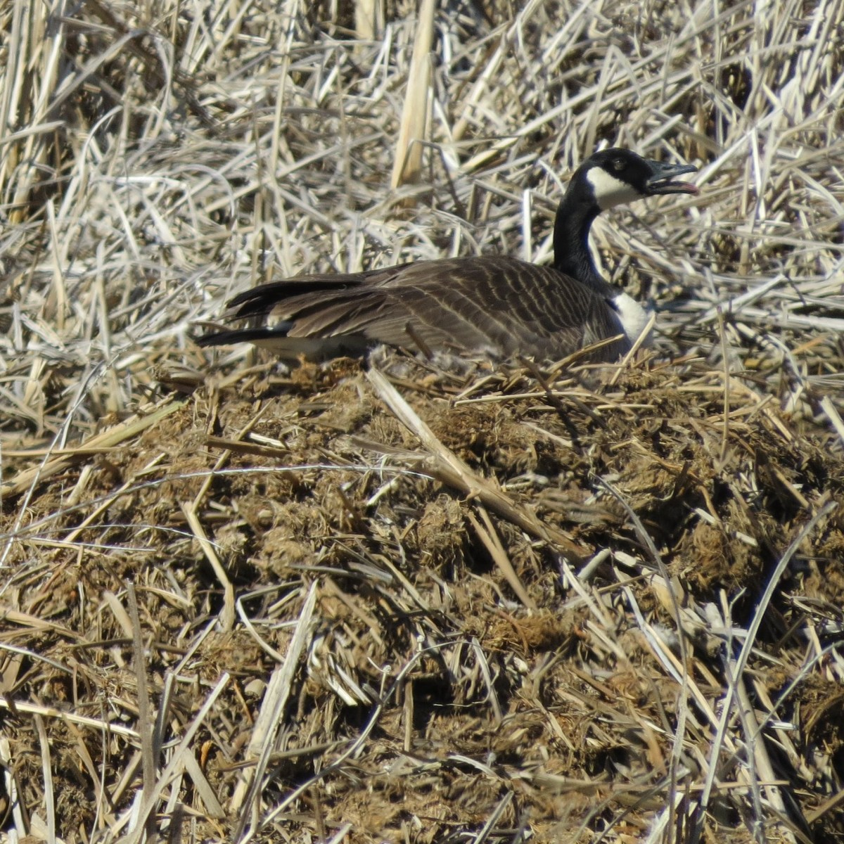A goose sits upon her nest on top of a muskrat lodge