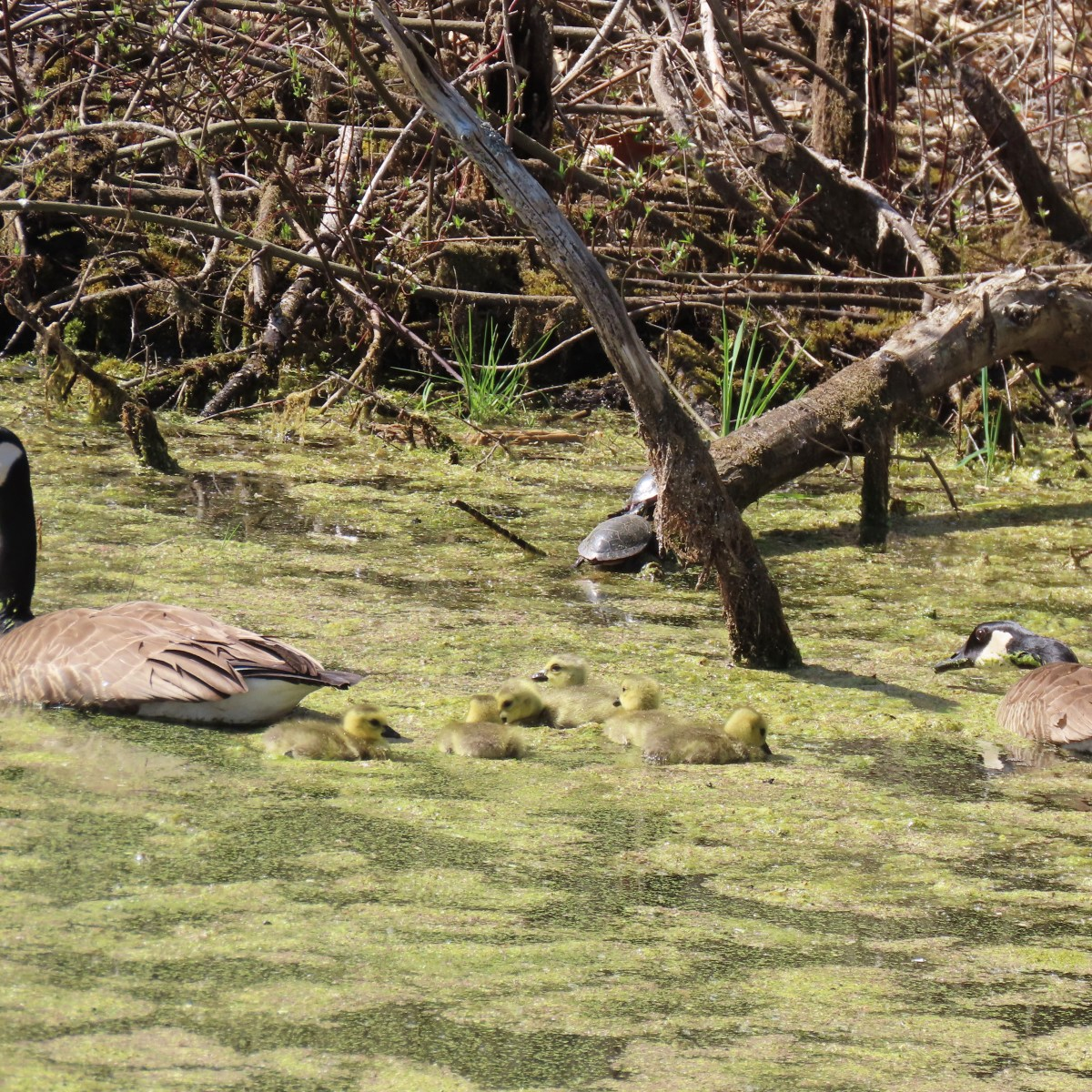 Geese parents and their goslings swim through duckweed-covered water