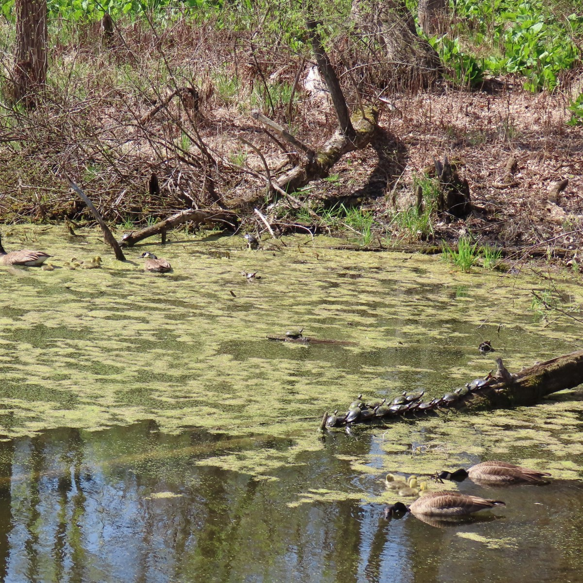 A family of geese swim near painted turtles on a log