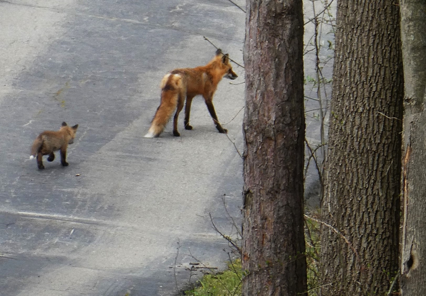 A female red fox walks across a blacktop driveway with her pup following close behind