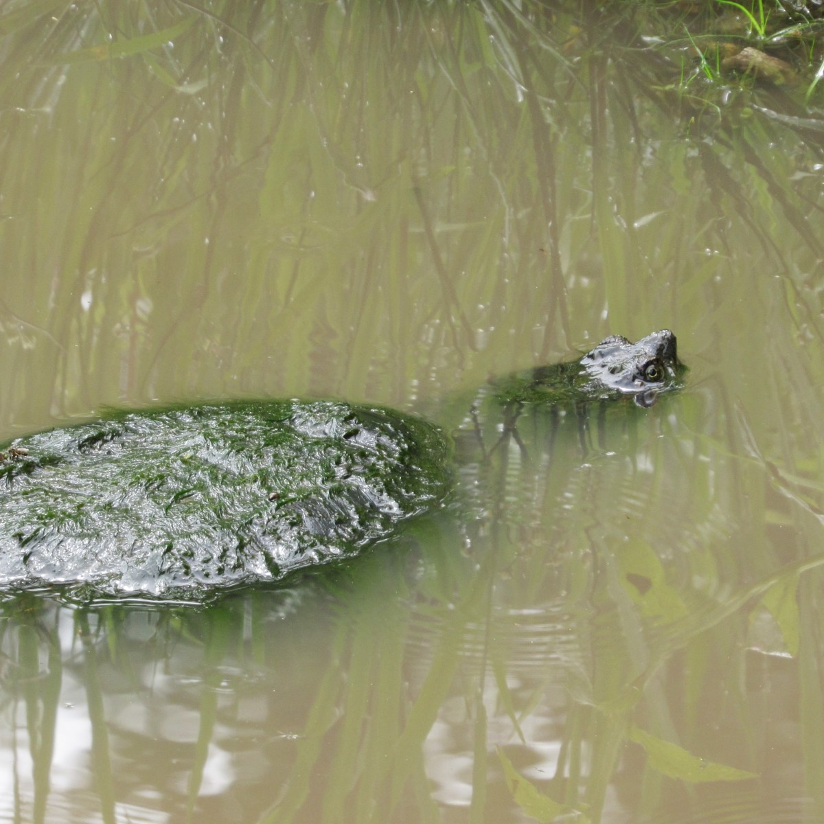 A snapping turtle swimming in brownish-green water
