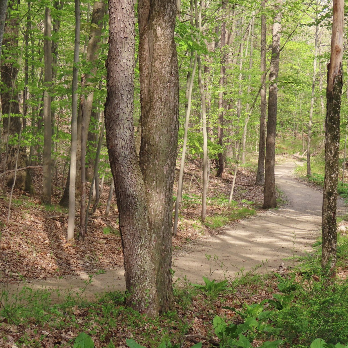 A dirt path winds through a wooded area in the springtime