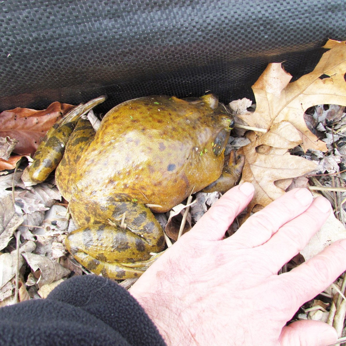 A human hand next to a bullfrog to show the size, they are about the same size.