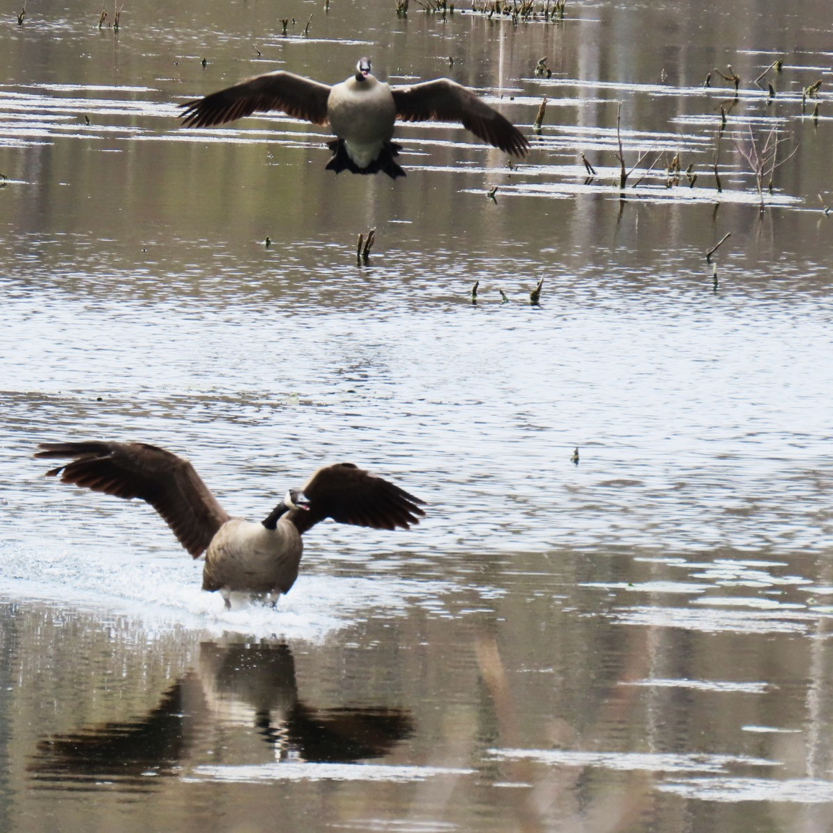 Two geese touching down in the water