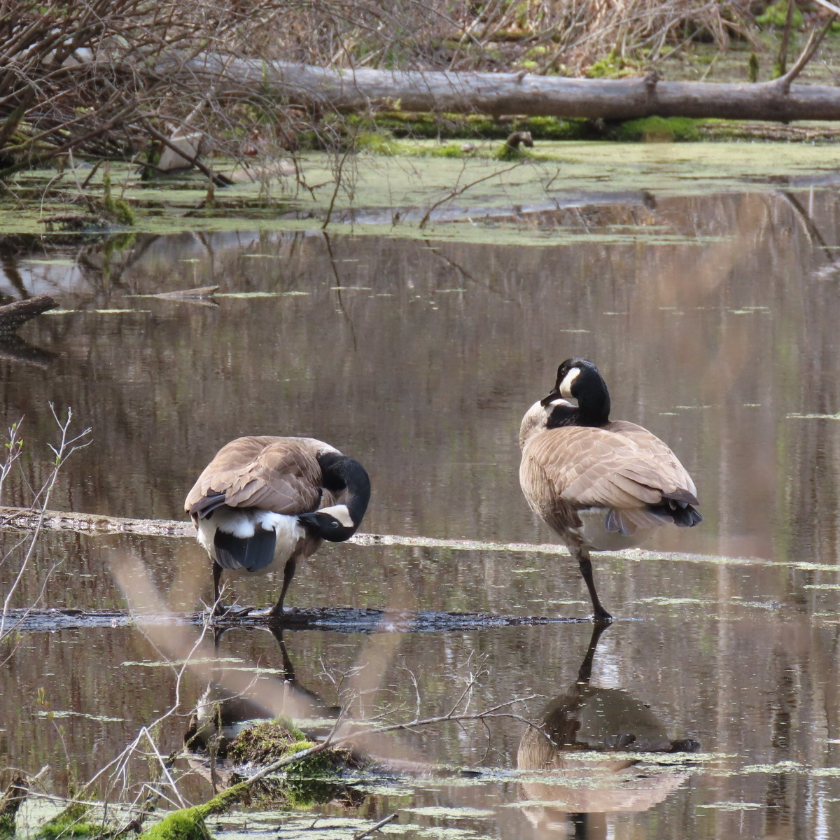 Two geese stand still in a marsh in yoga-like poses