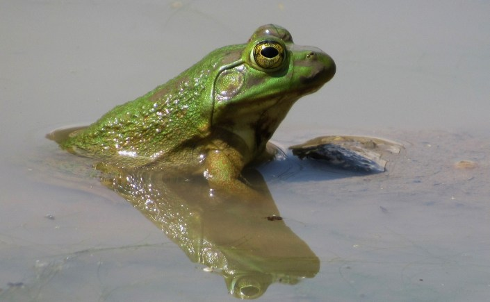 A young bullfrog in pond, its bottom half is submerged in the water